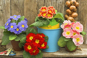 Garden Primula plants {Primula polyanthus} still life  in rustic garden shelf setting  -  Gary K. Smith