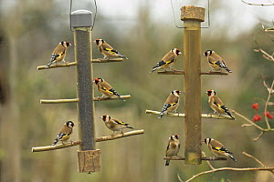Goldfinches {Carduelis carduelis} feeding on niger seed on garden feeder, UK, January - Gary K. Smith