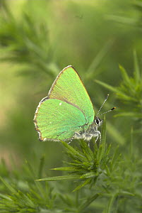 Green hairstreak butterfly {callophrys rubi} at rest on Gorse Bush, UK, may  -  Gary K. Smith