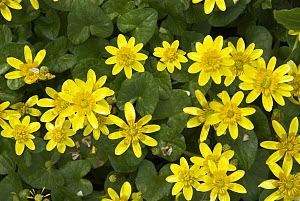 Lesser Celandine {Ranunculus ficaria} in full bloom, spring, Norfolk, UK, April  -  Gary K. Smith
