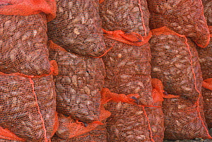 Sacks of graded Mussels {Mytillus sp.} ready for dispatch to market, North Norfolk, UK, February - Gary K. Smith