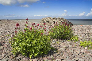 Naturalised Red valerian {Centranthus ruber} growing on Porlock beach, with WW2 pill box in background, Somerset, UK, May - Gary K. Smith