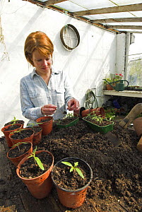 Woman gardener in greenhouse potting young Tomato seedlings {Solanum lycopersicum} UK, March  -  Gary K. Smith
