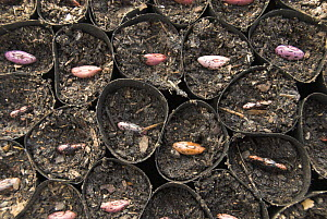 Runner beans {Phaseolus coccineus} seeds planted in fibre biodegradable, pots, Norfolk, UK, April  -  Gary K. Smith