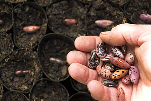 Runner beans {Phaseolus coccineus} being planted in fibre biodegradable, pots, Norfolk, UK, April  -  Gary K. Smith