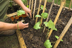 Planting Runner beans {Phaseolus coccineus} with cane supports, in small urban vegetable plot, UK, May  -  Gary K. Smith