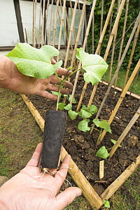 Runner beans {Phaseolus coccineus} in small urban vegetable plot, UK, May  -  Gary K. Smith