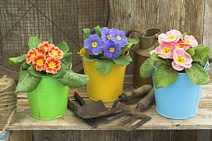 Garden Primula plants {Primula polyanthus} in colourful buckets, rustic garden shelf setting, UK  -  Gary K. Smith