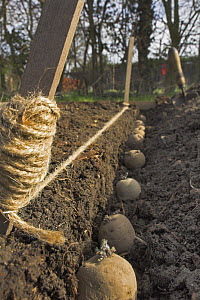 Seed potatoes {Solanum tuberosum} planted in trench, ready for covering with soil, UK  -  Gary K. Smith