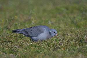 Stock dove / pigeon (Columba oenas) feeding in agricultural set-aside field. Norfolk, England. March.  -  Chris Gomersall