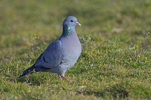 Stock dove / pigeon (Columba oenas) in agricultural set-aside field. Norfolk, England. March.  -  Chris Gomersall