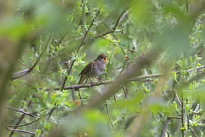 Nightingale (Luscinia megarhynchos) adult singing in Willow thicket. Cambridgeshire, England. April. - Chris Gomersall