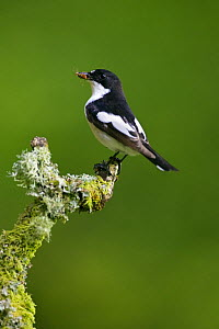 Pied Flycatcher (Ficedula hypoleuca) male on lichen-covered branch with insects in bill, Wales  -  David Kjaer