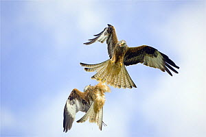 Red Kites (Milvus milvus) in flight, fighting over food, Wales  -  David Kjaer