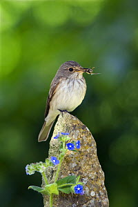 Spotted Flycatcher (Muscicapa striata) with insects in bill, on post with blue Alkanet flowers, Somerset, England  -  David Kjaer