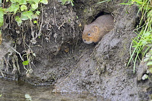 Water Vole (Arvicola terrestris) emerging from burrow on muddy river bank, Wiltshire, England  -  David Kjaer