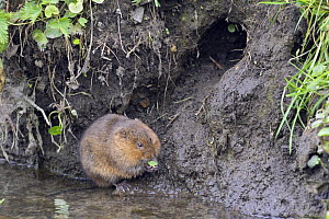 Water Vole (Arvicola terrestris) on muddy river bank near burrow, Wiltshire, England  -  David Kjaer