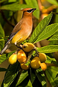 Cedar Waxwing (Bombycilla cedrorum) perched on Japanese Plums, North Florida, USA  -  Barry Mansell
