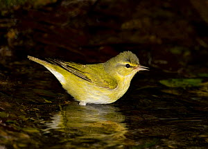 Tennessee Warbler (Vermivora peregrina) in woodland pool. Texas, USA  -  Barry Mansell