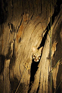 Small Spotted Genet (Genetta genetta) poking head out of a tree at night, Botswana - Christophe Courteau