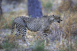 Cheetah (Acinonyx jubatus) in the Kalahari Desert, Botswana  -  Christophe Courteau