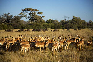 Herd of Impalas (Aepyceros melampris) during the rutting season. A harem with one male and several females, Botswana. Buffalo in background - Christophe Courteau