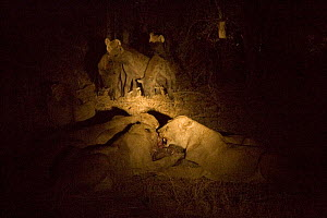 African lions (Panthera leo) with a kill at night time, Brown hyaenas (Hyaena brunnea) looking on, lit by spotlight. Botswana  -  Christophe Courteau