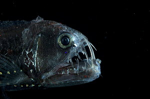 Viperfish {Chauliodus sloani} Atlantic  Note - caught in RMT8 between 400-520m during the day  -  David Shale