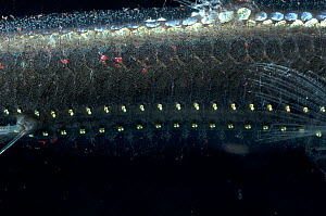 Close-up of ventral photophores on body of Viperfish {Chauliodus sloani} Atlantic  -  David Shale