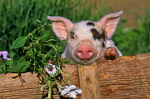 Mixed-breed Domestic pig (Sus scrofa domestica) looking over fence, beside flowers. Captive - Lynn M Stone