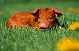 Mixed-breed domestic piglet (Sus scrofa domestica) in grass with dandelions, USA - Lynn M Stone