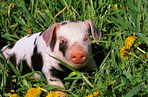 Mixed-breed domestic piglet (Sus scrofa domestica) amongst grass and dandelions, USA - Lynn M Stone