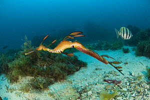 Weedy seadragon (phyllopteryx taeniolatus) male with eggs swimming past a banded butterfly fish. Albany, Western Australia  -  Juergen Freund