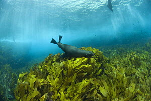 New Zealand fur seals (Arctocephalus forsteri) swimming amongst kelp. Albany, Western Australia  -  Jurgen Freund
