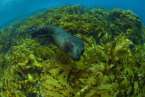 New Zealand fur seal (Arctocephalus forsteri) swimming amongst kelp. Albany, Western Australia  -  Jurgen Freund