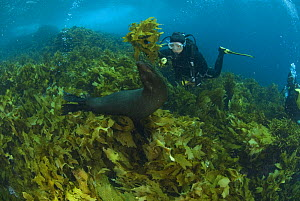 Diver swimming with New Zealand fur seal (Arctocephalus forsteri)  amongst kelp, Albany, Western Australia  -  Jurgen Freund