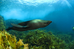 New Zealand fur seal (Arctocephalus forsteri) swimming upside-down amongst kelp. Albany, Western Australia  -  Jurgen Freund
