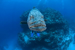 Potato grouper (Epinephelus tukula) with diver's feet / fins / flippers. Rowley Shoals, Western Australia  -  Jurgen Freund