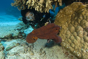 Diver watching Common reef octopus (Octopus cyaneus)  Rowley Shoals, Western Australia  -  Jurgen Freund