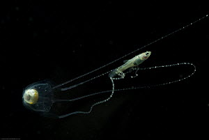 Irukandji box jellyfish (Carukia barnesi) catching fish in its tentacles, north Australian - Jurgen Freund
