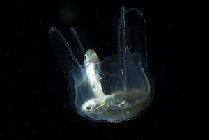 Irukandji box jellyfish (Carukia barnesi) digesting two caught fish, north Australian - Jurgen Freund