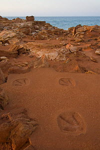 Casts of 130 million year old dinosaur footprints (the original footprints are only exposed at low tide) at Gantheaume Point, with its distinctive red soils. Broome, Western Australia. - Jurgen Freund