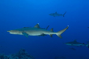Whitetip reef shark (Triaenodon obesus) and Grey reef sharks (Carcharhinus amblyrhynchos) at North Horn, Queensland, Australia - Jurgen Freund