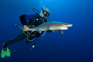 John Rumney catching and tagging white tip reef shark (Triaenodon obesus) - they rope lasso the tail of the white tip and bring the shark up to the boat to measure and ID the shark and attach a small...  -  Jurgen Freund