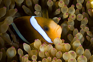 Barrier reef anemonefish (Amphiprion akindynos) in anemone tentacles, Queensland, Australia  -  Jurgen Freund