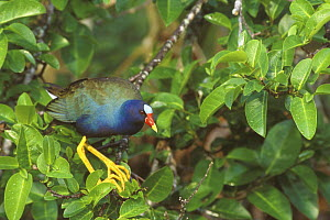 American purple gallinule (Porphyrio martinicus) on leafy branches, Everglades NP, Florida, USA. March  -  Rob Tilley
