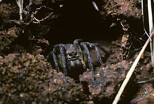 Wolf spider (Lycosa narbonensis) female at her burrow entrance, Spain  -  Premaphotos