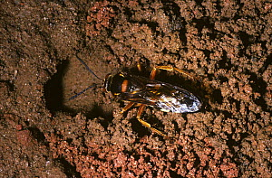 Cicada killer wasp (Sphecius speciosus) female digging her burrow in which she will deposit Cicada prey, South Carolina, USA.  -  Premaphotos
