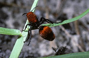 Cow killer velvet-ant mutillid wasp (Dasymutilla occidentalis) female climbing grass stalk, South Carolina, USA  -  Premaphotos