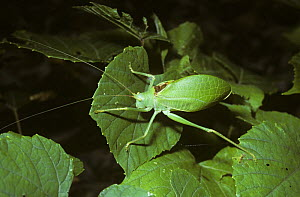 True katydid (Pterophylla camellifolia) male, South Carolina, USA  -  Premaphotos
